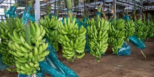 atelier banane